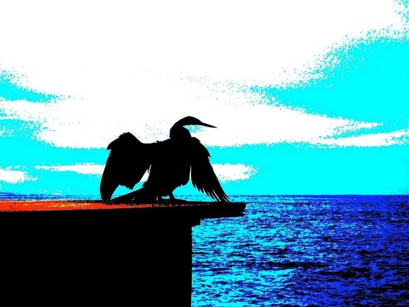 Black Bird. NSW.