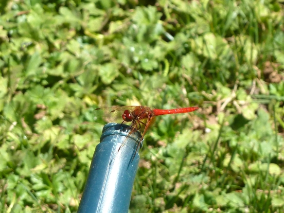Red Dragonfly in Oregon